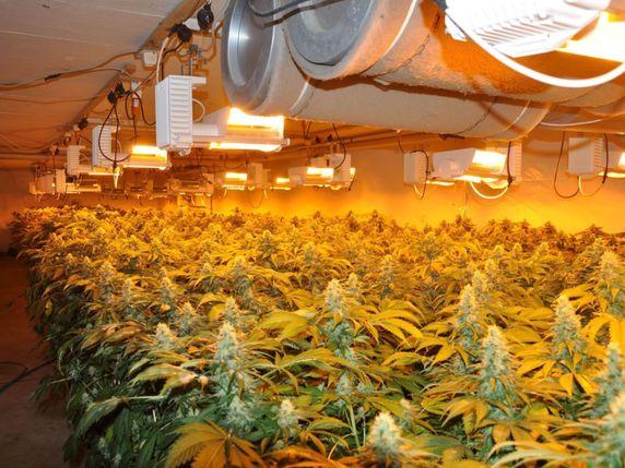 Saisie de 1250 plants de marijuana gunzgen so la libert for Installation cannabis interieur