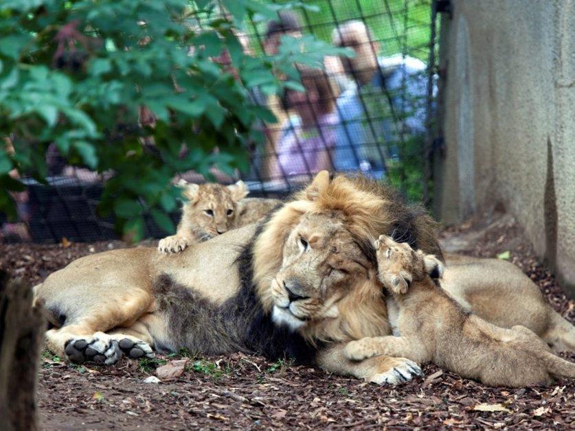 Nouvelle offre au zoo de londres dormir au milieu des lions la libert - Dormir au milieu des animaux ...