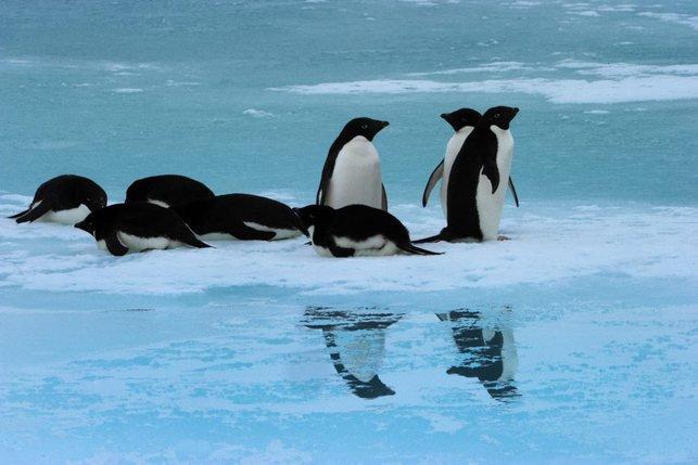 L'iceberg oblige désormais les manchots à faire un immense détour pour trouver leur nourriture.