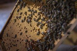 Des souches d'abeilles examinées à Grangeneuve