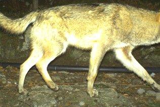 Le loup abattu dans le canton d'Uri sera empaillé