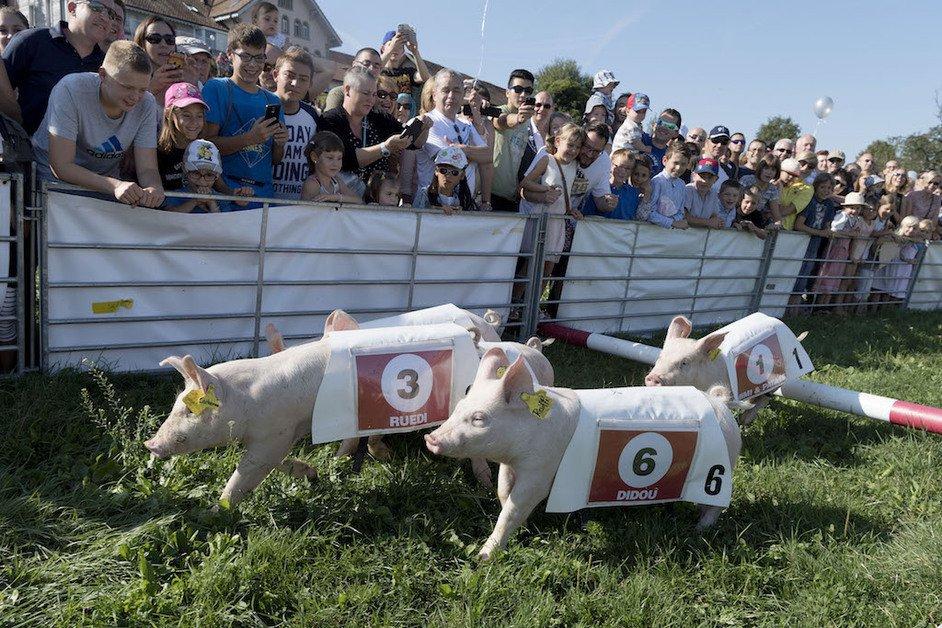 Courses de cochons de la bénichon d'Ecuvillens
