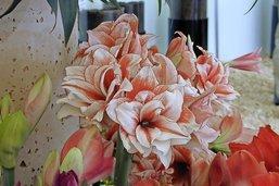 Faire fleurir à nouveau sa belle amaryllis