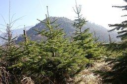La longue tradition du sapin de Noël