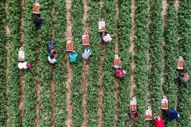 Evaluer la production du champ de fraises avec son téléphone