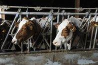 Une maladie sème la zizanie dans les troupeaux