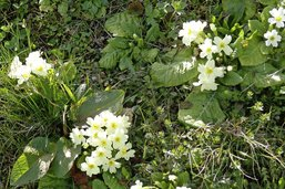 Primula, primevère… et printemps