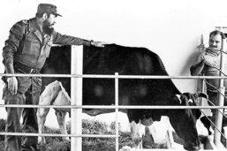 La vache miracle du Lider maximo