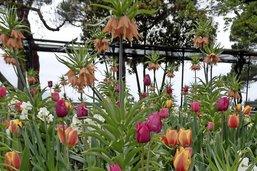 Les tulipes et leurs bulbeuses camarades