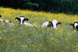 Soigner les vaches grâce à l'acupuncture