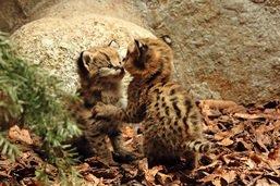 Deux petits servals pointent le bout du nez