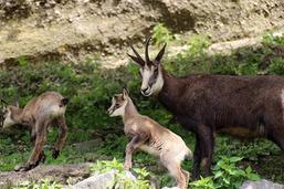 La chasse du chamois sera réduite dans le canton de Fribourg