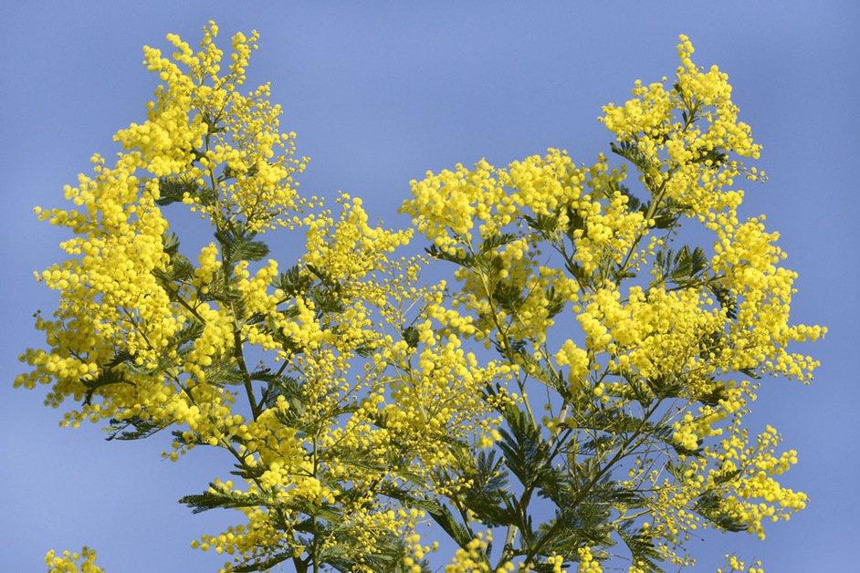 Mimosa. tronçonneuses et sécateurs
