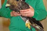 Victime de braconnage, un aigle royal décède
