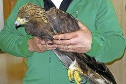 Blessé par balles, un aigle royal trépasse