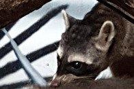 Un bébé raton crabier naît au Papiliorama