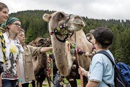 Des chameaux s'invitent aux Paccots