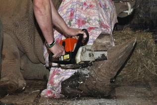 La justice sud-africaine autorise des enchères de cornes de rhinocéros