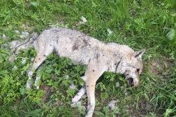 Le loup ne pourra pas être chassé toute l'année