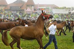 Le cheval de la race franches-montagnes n'est pas en péril