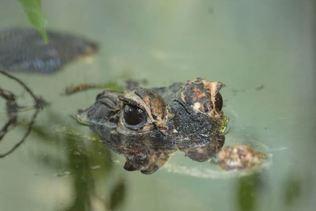 Le zoo bernois du Dählhölzi chouchoute ses crocodiles nains