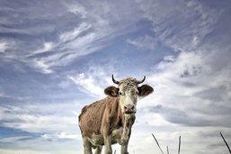 Une maladie bovine qui inquiète
