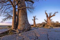 Dans le désert de sel, l'île aux baobabs