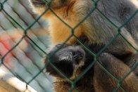 La pétition contre l'expérimentation sur des singes déposée au Grand Conseil