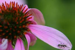 Une colonie de fourmis méditerranéennes envahit Cully (VD)