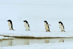 Antarctique: découverte surprise de 1,5 million de manchots Adélie
