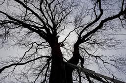 Le déclin des vieux arbres menace capricornes et autres coléoptères