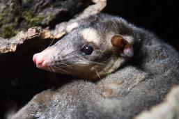Naissance de bébés opossums à Cernier (NE)