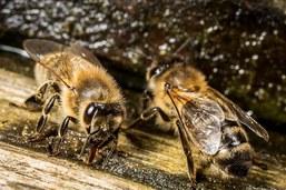 Le WWF a qualité pour recourir contre un herbicide tueur d'abeilles