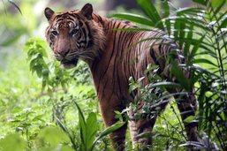 Un homme tué par un tigre de Sumatra