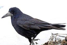 Des corbeaux qui cassent les oreilles