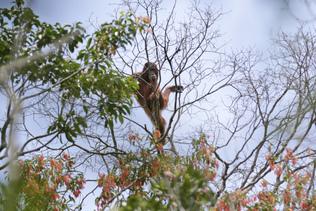 Un orang-outan criblé de balles, des suspects arrêtés