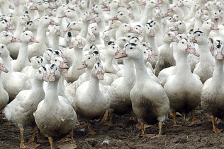 Foie gras: vers un retour à la normale de la production en France