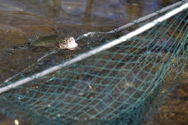 Des centaines de poissons ont succombé dans la Morges VD