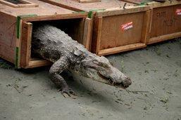 Cinquante crocodiles saisis à l'aéroport d'Heathrow