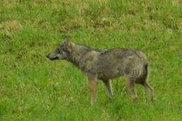 Un loup a été photographié à Horgen (ZH)