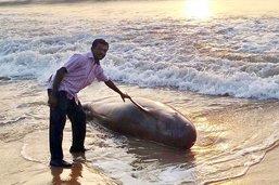 Thaïlande: une baleine meurt après avoir avalé 80 sacs en plastique