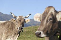 Le National ne veut pas de l'initiative sur les vaches à cornes