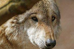Le Conseil des Etats a entamé la révision de la loi sur la chasse