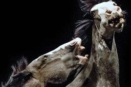 Les chevaux de Bartabas à l'instinct