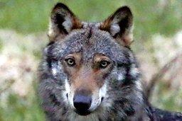 Feu sur les loups, lynx et castors