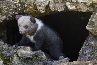Mort de l'ourson «Nuage» à Juraparc