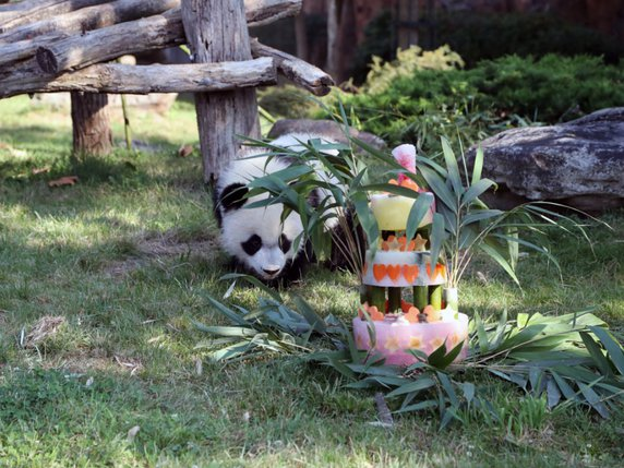 Le Bébé Panda Yuan Meng Fête Son Premier Anniversaire Avec Ses Fans