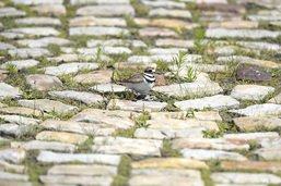 Un nid d'oiseau perturbe les préparatifs d'un festival de blues