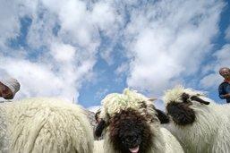 Seize moutons attaqués sur les hauts de Zinal (VS)