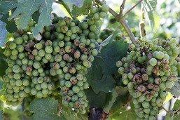 La grêle a provoqué pour 4 millions de dommages dans le vignoble